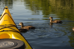 20130612 - ducklings with yellow kayak