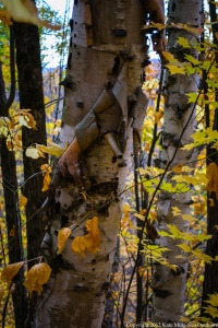 20121013 - peeling birch bark color